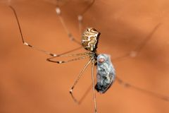 与牺牲者的Pholcidae蜘蛛 免版税库存图片