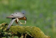 与牺牲者的Sparrowhawk 免版税图库摄影