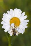 与牺牲者蜂的蜘蛛在春黄菊 库存图片