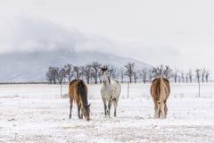 与犹特人山的三匹马在冬天 库存图片