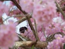 与狂放的喜马拉雅樱花的白被放气的myna 库存图片