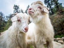 与狂放的森林的两只白色山羊背景的 免版税库存照片