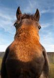与狂放的眼睛的滑稽的马 免版税库存照片