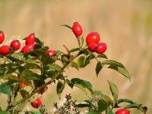 与狂放的野玫瑰果明亮的红色莓果森林灌木装饰背景纹理的宏观照片, 免版税库存照片