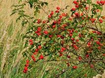 与狂放的野玫瑰果明亮的红色莓果森林灌木装饰背景纹理的宏观照片, 免版税库存图片