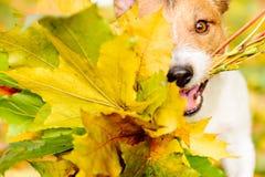 与狗和秋天槭树的感恩概念离开 免版税库存照片