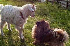 与狗的山羊 库存照片