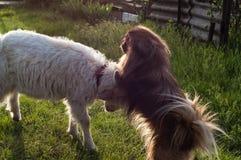 与狗的山羊 免版税库存图片