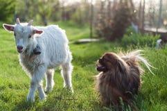 与狗的山羊 免版税库存照片
