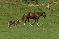 与狗的马在草甸 库存图片