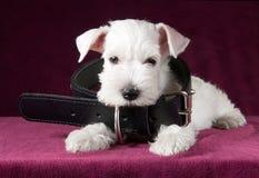 与狗项圈的可爱的白色小狗 免版税图库摄影