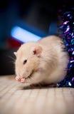 与狡猾的神色的鼠 库存照片