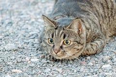 与狩猎姿势的一只棕色猫 免版税库存图片