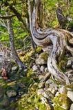 与独特的弯曲的树干的树在河岸 库存照片
