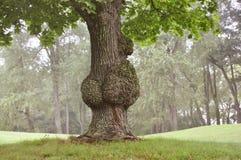 与独特的节的害病的树 免版税库存图片
