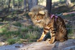 与狮子样式假发的滑稽的虎斑猫 图库摄影