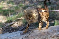 与狮子样式假发的滑稽的虎斑猫 免版税库存图片