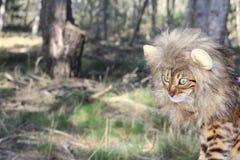 与狮子样式假发的滑稽的虎斑猫 免版税库存照片