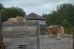 与狮子的午休时间在火车 库存照片