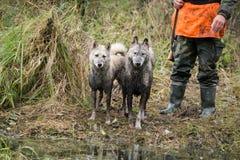 与猎人狩猎的猎犬 库存照片