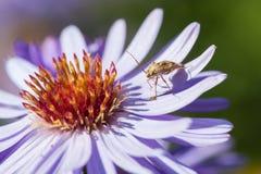 与猎蝽的翠菊花 库存照片
