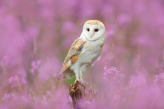 与猫头鹰和桃红色花的美好的自然场面 在浅粉红色的绽放、清楚的前景和背景,捷克的谷仓猫头鹰 W 库存图片