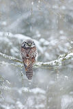 与猫头鹰的冬天 从瑞典的猫头鹰 鹰猫头鹰坐落叶松属在冷的雪冬天 从自然的野生生物场面 斯诺伊栖所和 免版税库存图片