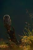 与猫头鹰的有薄雾的早晨本质上 欧亚黄褐色的猫头鹰,与好的绿色被弄脏的森林在背景中 在日出期间的鸟 Wildl 库存图片