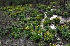 与猿猴草属palustris的春天风景 库存图片