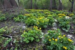 与猿猴草属palustris的春天风景 免版税图库摄影