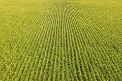 与玉米行的领域  免版税库存图片