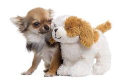 与玩具熊的奇瓦瓦狗,被隔绝 免版税库存图片