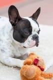 与玩具熊的法国牛头犬 免版税库存图片