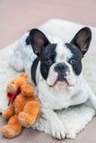 与玩具熊的法国牛头犬 库存图片