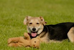 与玩具熊的狗 免版税库存照片