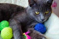 与玩具的俄国蓝色猫 库存图片