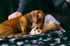 与玩具的厚颜无耻的小狗 免版税库存照片
