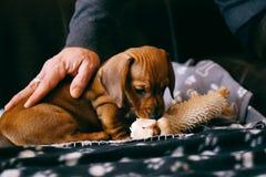 与玩具的小狗 免版税库存照片