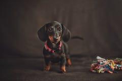与玩具的微型达克斯猎犬小狗在黑背景 库存图片