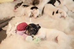 与玩具的新出生的小狗-三天年纪起重器罗素狗小狗在白色背景说谎 库存照片