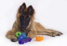 与玩具的比利时牧羊人特尔菲伦小狗 免版税库存图片