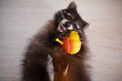 与玩具的浣熊 免版税库存照片