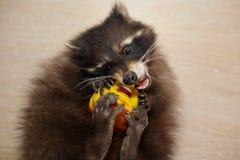 与玩具的浣熊 库存图片