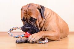 与玩具的狗戏剧 免版税库存图片