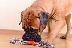 与玩具的狗戏剧 免版税库存照片