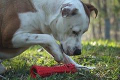 与玩具的狗 免版税图库摄影
