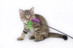与玩具的英国小猫 图库摄影