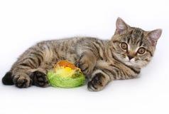 与玩具的英国小猫 免版税库存图片