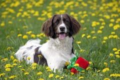 与玩具的英国斯伯林格西班牙猎狗 免版税库存图片