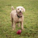 与玩具的西班牙水猎狗 免版税库存图片
